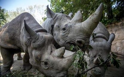 5 rinoceronti andranno in Ruanda per la ripopolare l'area