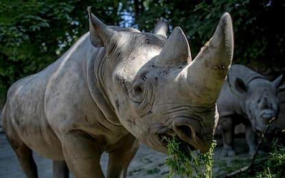 Rinoceronti, sarebbero i picchi ad avvisarli del pericolo bracconaggio