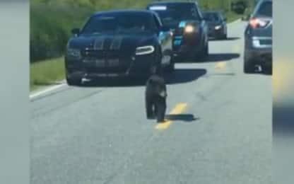 """Carolina del Nord, cucciolo di orso """"scortato"""" dalla polizia. VIDEO"""