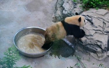 Agenzia_Fotogramma_Panda_gigante_6_-_HERO