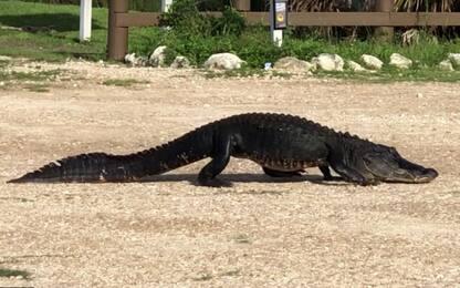 Usa, l'alligatore mangia un sacchetto di plastica abbandonato. VIDEO