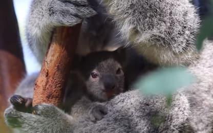 I sette cuccioli di koala nel marsupio delle loro mamme. VIDEO