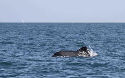 Ostia, delfino nuota con busta di plastica sulla pinna. FOTO