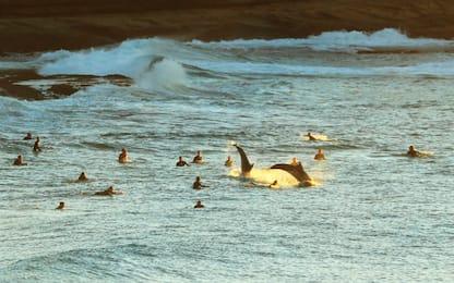 Australia, delfini tra i surfisti a largo di Sidney