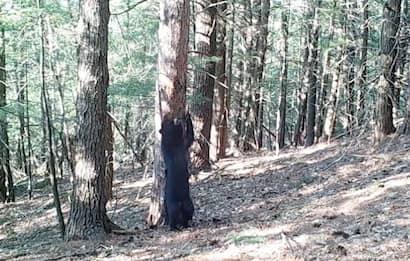 New Hampshire, l'orso si gratta la schiena sull'albero. VIDEO