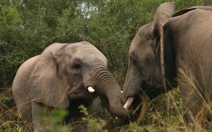 Sri Lanka, uccisi sette elefanti, probabile avvelenamento
