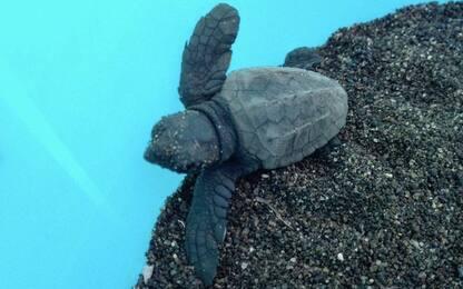Sicilia, sull'isola di Linosa nate 23 tartarughe Caretta Caretta