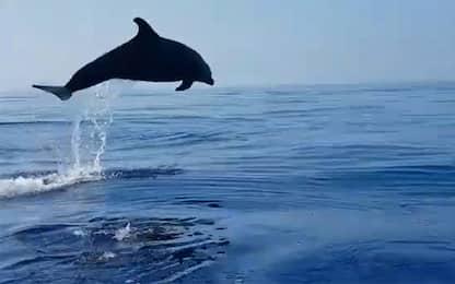 Procida, delfino liberato da rete: i salti di gioia della mamma. VIDEO