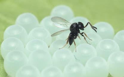Le vespe samurai saranno usate per combattere le cimici asiatiche
