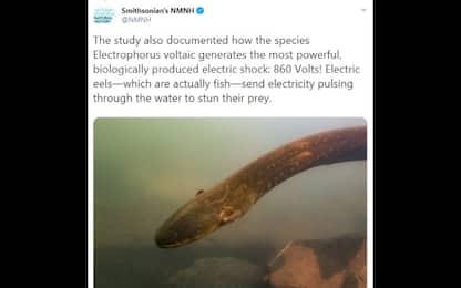 Amazzonia, scoperta la più potente anguilla elettrica del mondo. VIDEO