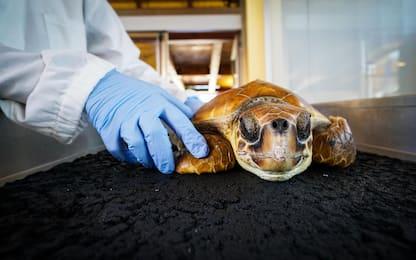 Ingerisce un amo, tartaruga marina salvata a Gaeta. FOTO