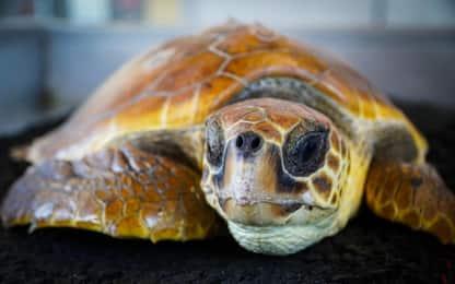 Tartaruga marina salvata a Fregene: in cura allo Zoomarine di Pomezia