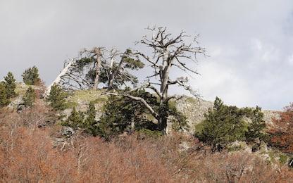 Italus, in Calabria l'albero più vecchio d'Europa. FOTO