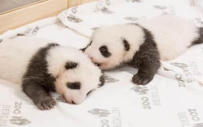 I primi cuccioli di panda nello zoo di Berlino. FOTO