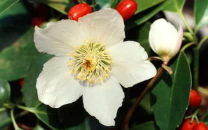 Fioriture di novembre, cinque piante che resistono in inverno