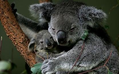 """L'allarme del WWF: """"Koala a rischio. Può scomparire in 30 anni"""". VIDEO"""