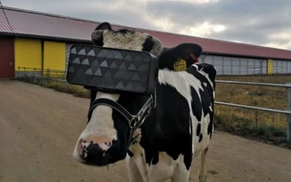 Mucche con il visore per la realtà virtuale: l'esperimento in Russia