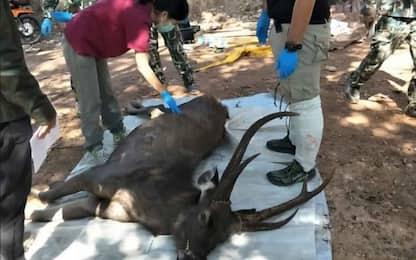 Thailandia, cervo morto con 7 chili di spazzatura nello stomaco