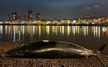 Londra, balena ritrovata morta sulle sponde del Tamigi. FOTO