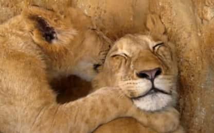 Sudafrica, leoncino felice di farsi succhiare l'orecchio. VIDEO