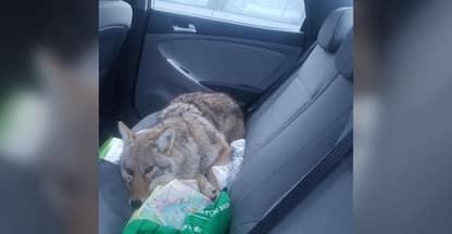 Investe un cane con l'auto e lo cura, ma era un coyote