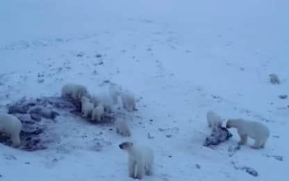 Russia, oltre 50 orsi polari affamati invadono un villaggio. VIDEO