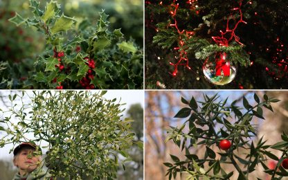 Dal pungitopo al vischio, 7 piante simbolo del Natale. FOTO