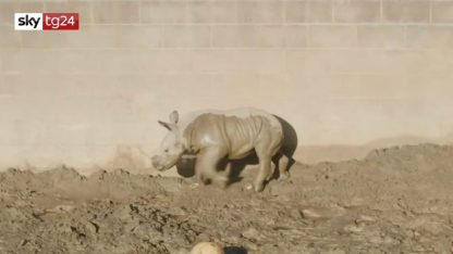 """Si chiama """"Futuro"""" il cucciolo di rinoceronte dello zoo di San Diego"""