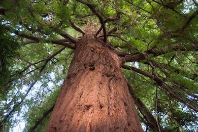 Gli alberi più vecchi del mondo. FOTO