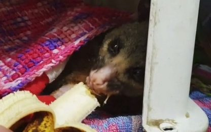 Australia, l'opossum salvato dagli incendi mangia una banana. VIDEO