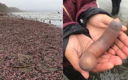California, spiagge di San Francisco invase dai pesci-pene. FOTO-VIDEO