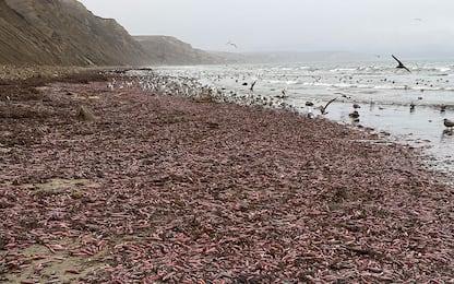 California, l'invasione dei pesci-pene a San Francisco. FOTO