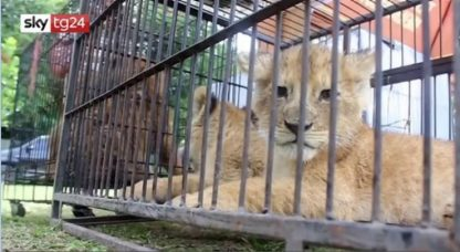 Indonesia, sequestrati cuccioli di leone per contrabbando: VIDEO