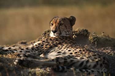 GettyImages-ghepardo