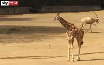 Messico, allo zoo di Chapultepec arriva una baby giraffa. VIDEO
