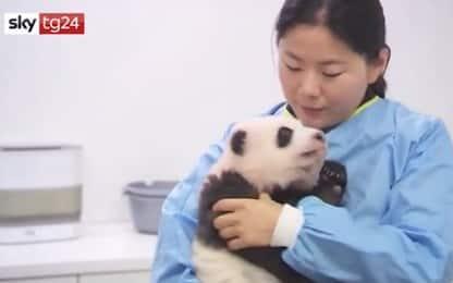 Ecco i cuccioli di panda gigante più belli al mondo. VIDEO