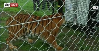 Il salvataggio di leoni e tigri maltrattati in Guatemala. VIDEO