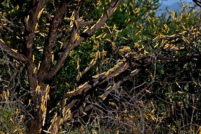 Africa, emergenza locuste arriva in Tanzania e Uganda