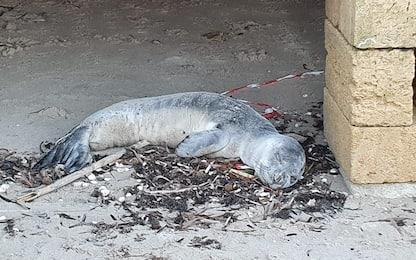Morto il cucciolo di foca monaca ritrovato in Puglia