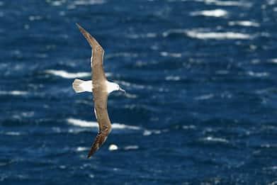Nuova Zelanda, radar sugli albatros contro la pesca illegale