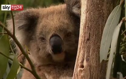 Australia, distrutta piantagione: strage di koala. VIDEO