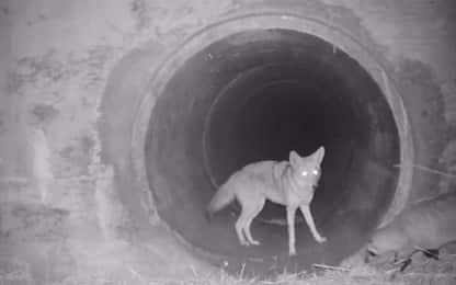 California, la passeggiata notturna del coyote col tasso. VIDEO