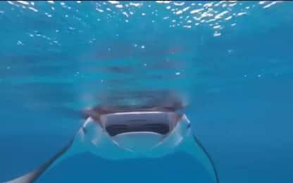 Maldive, il gruppo di mante si avvicina all'operatore subacqueo. Video