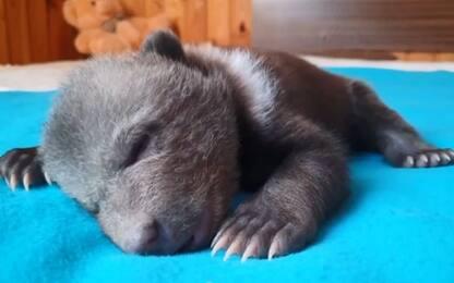 Russia, l'orsa orfana beve latte e gioca con altri cuccioli. VIDEO