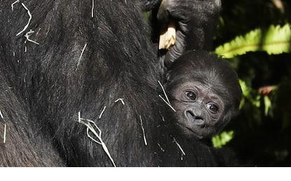 Los Angeles, zoo accoglie baby gorilla dopo 20 anni. FOTO