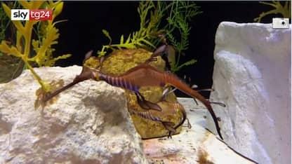 Le immagini del Dragone foglia nei mari dell'Australia. VIDEO