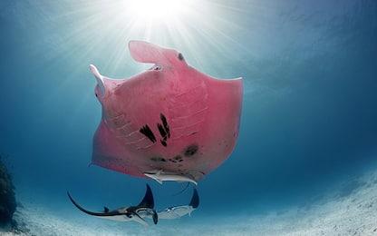 Australia, fotografato il primo esemplare di manta rosa