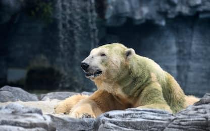 Giornata mondiale dell'orso polare. FOTO