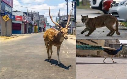 Coronavirus, gli animali riconquistano le città. FOTO
