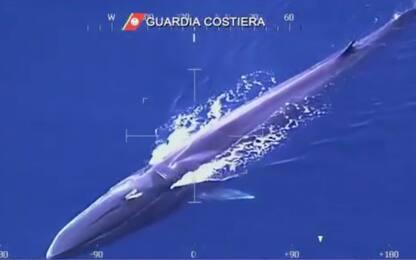 Balena di 20 metri avvistata al largo dell'isola d'Elba. VIDEO